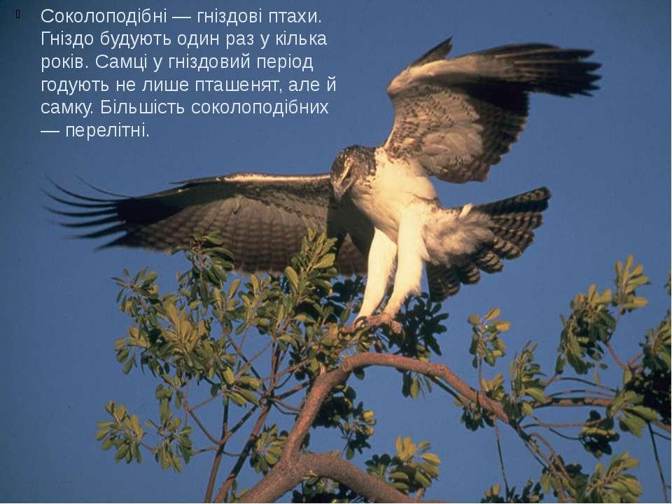 Соколоподібні — гніздові птахи. Гніздо будують один раз у кілька років. Самці...