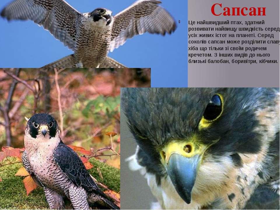 Сапсан Це найшвидший птах, здатний розвивати найвищу швидкість серед усіх жив...