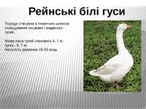 Порода створена в Німеччині шляхом схрещування місцевих і емденскіх гусей. Жи...