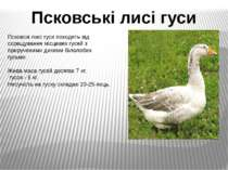 Псковскі лисі гуси походять від схрещування місцевих гусей з прирученими дики...