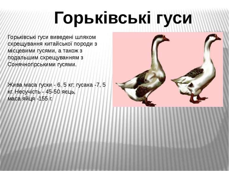 Горьківські гуси виведені шляхом схрещування китайської породи з місцевими гу...