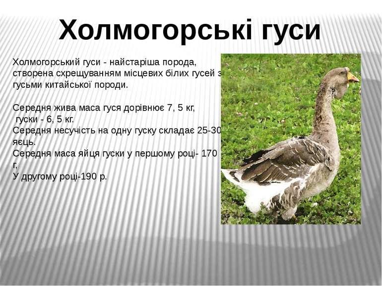Холмогорський гуси - найстаріша порода, створена схрещуванням місцевих білих ...