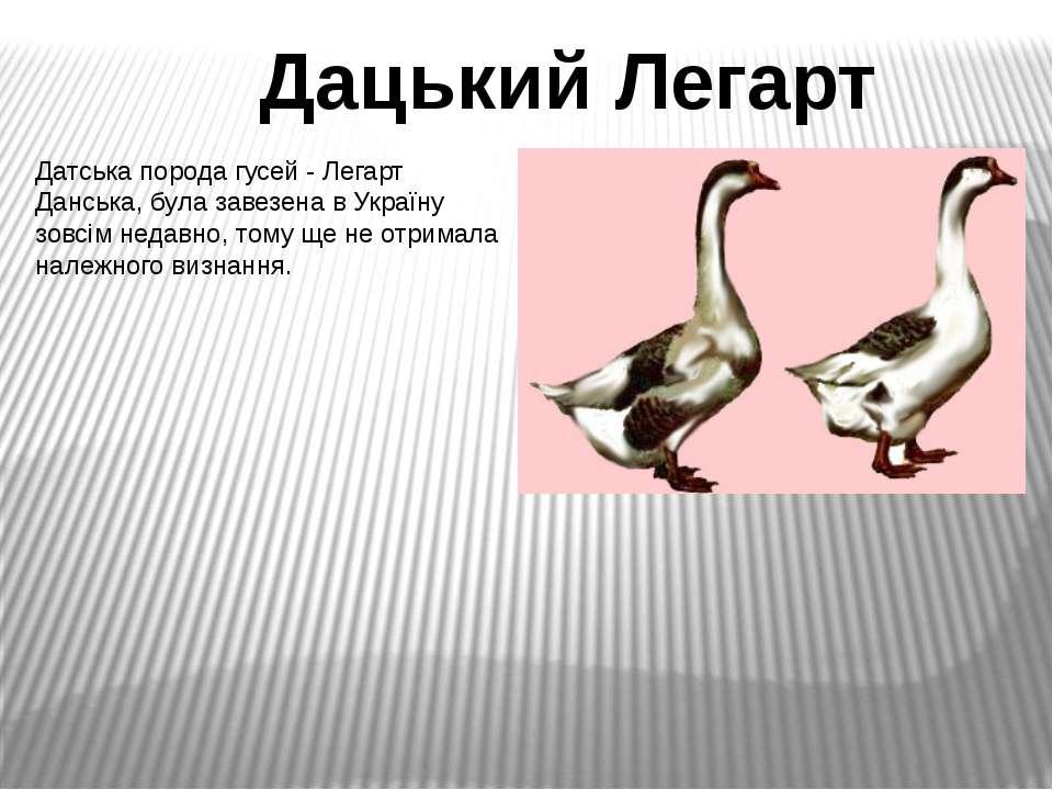 Датська порода гусей - Легарт Данська, була завезена в Україну зовсім недавно...