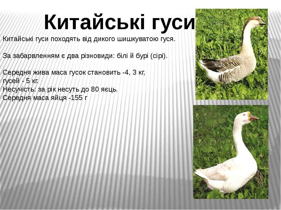 Китайські гуси походять від дикого шишкуватою гуся. За забарвленням є два різ...