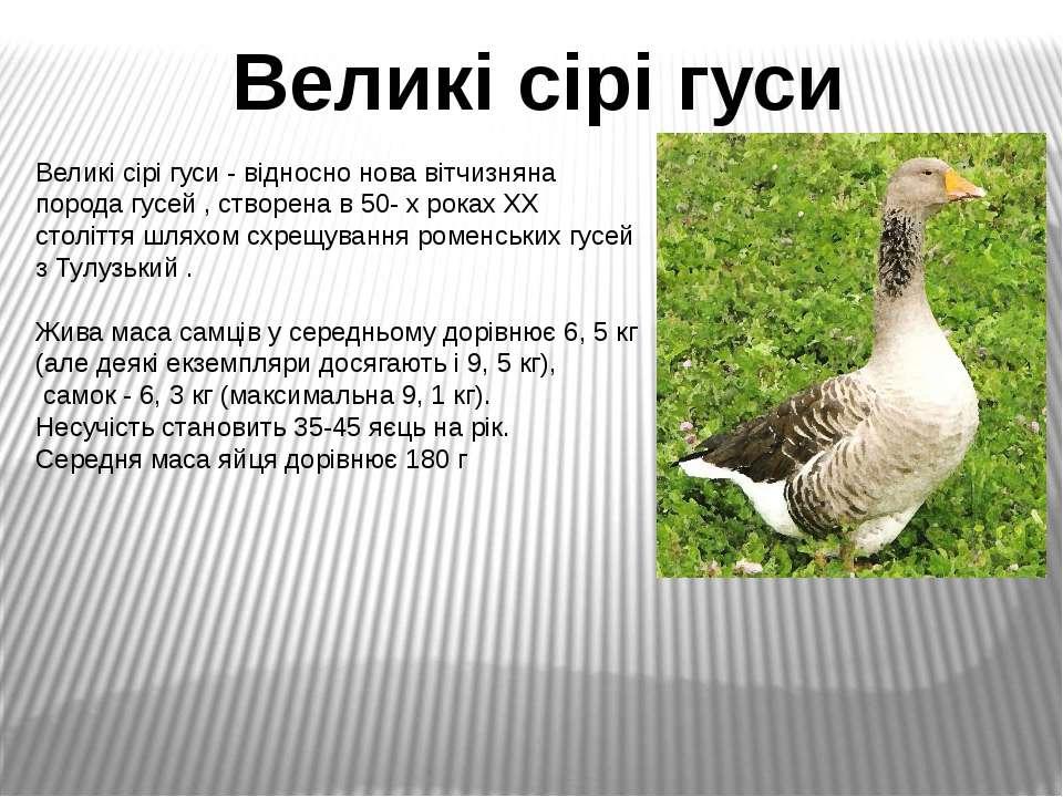 Великі сірі гуси - відносно нова вітчизняна порода гусей , створена в 50- х р...
