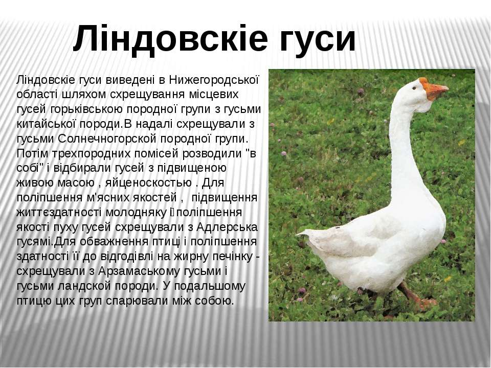 Ліндовскіе гуси виведені в Нижегородської області шляхом схрещування місцевих...