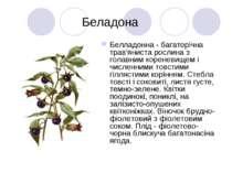 Беладона Белладонна - багаторічна трав'яниста рослина з голавним кореневищем ...