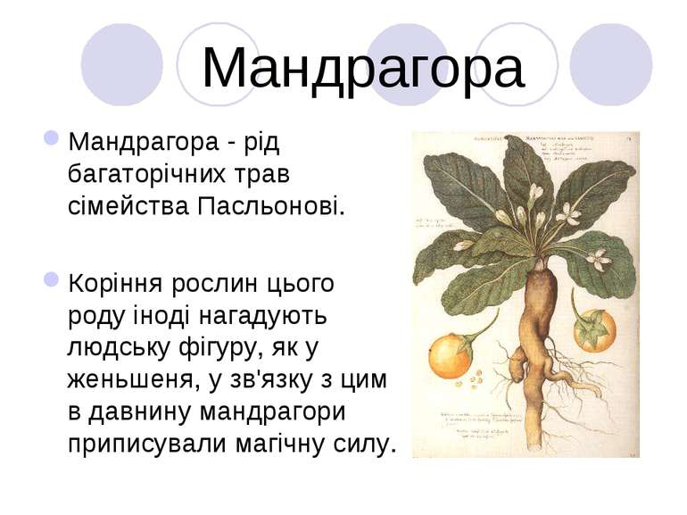 Мандрагора Мандрагора - рід багаторічних трав сімейства Пасльонові. Коріння р...
