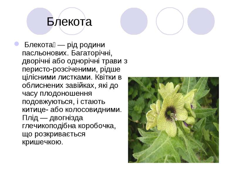 Блекота Блекота — рід родини пасльонових. Багаторічні, дворічні або однорічні...