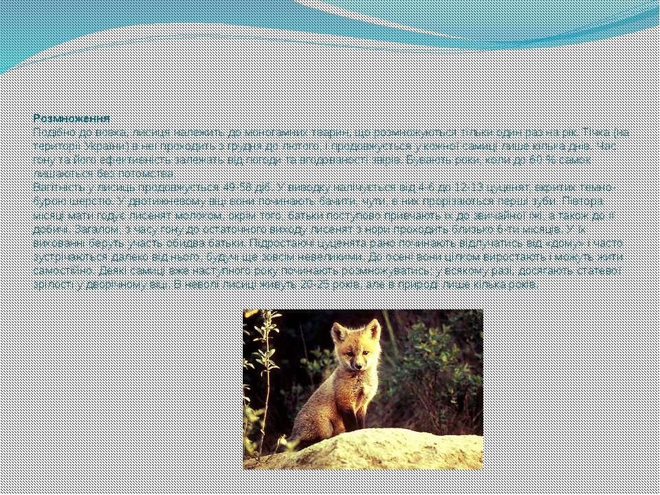 Розмноження Подібно дововка, лисиця належить домоногамнихтварин, що розмно...