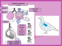 Шлях повітря при диханні птаха в польоті Подвійне дихання птахів Легені Бронх...
