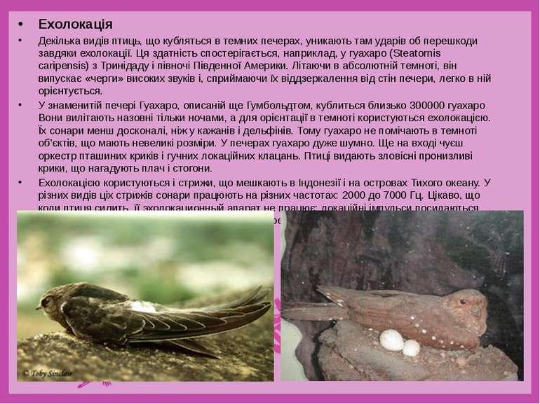 Ехолокація Декілька видів птиць, що кубляться в темних печерах, уникають там ...