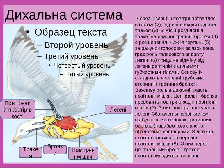 Дихальна система Через ніздрі (1) повітря потрапляє в глотку (2), від неї від...
