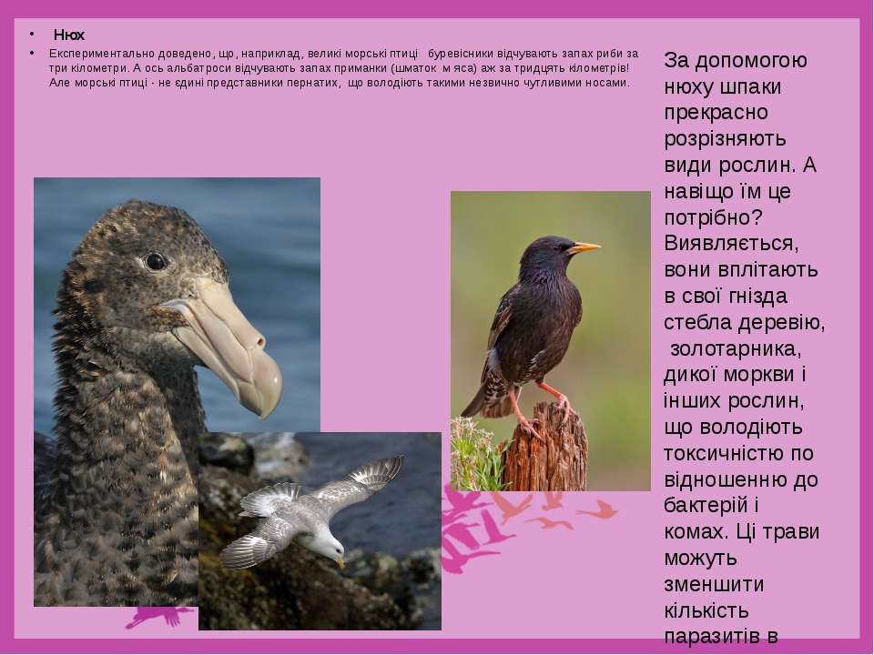 Нюх Експериментально доведено, що, наприклад, великі морські птиці буревісник...