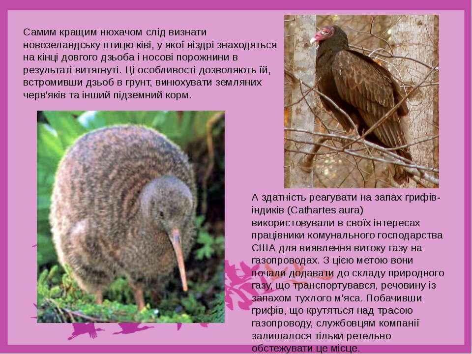 Самим кращим нюхачом слід визнати новозеландську птицю ківі, у якої ніздрі зн...