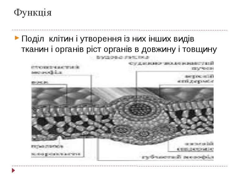 Функція Поділ клітин і утворення із них інших видів тканин і органів ріст орг...