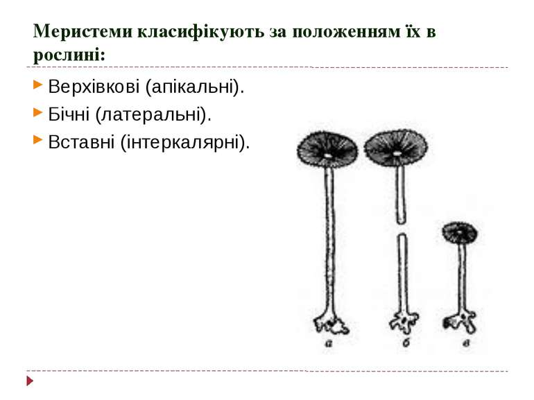 Меристеми класифікують за положенням їх в рослині: Верхівкові (апікальні). Бі...