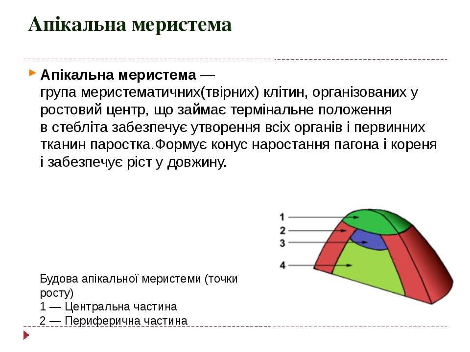 Апікальна меристема Апікальна меристема— групамеристематичних(твірних)кліт...