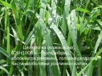 Целюло за(клітковина), (С6Н10О5)x—полісахарид, волокнистаречовина, головна...