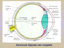 Загальна будова ока людини