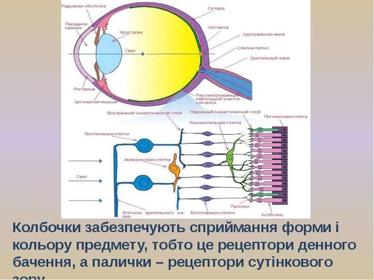 Колбочки забезпечують сприймання форми і кольору предмету, тобто це рецептори...