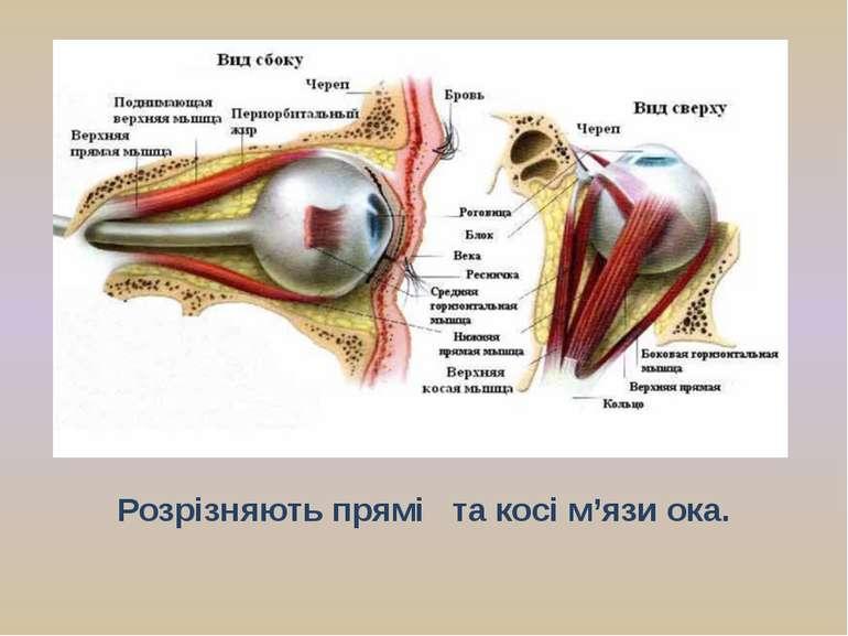 Розрізняють прямі та косі м'язи ока. Завдяки м'язам око постійно рухається в ...