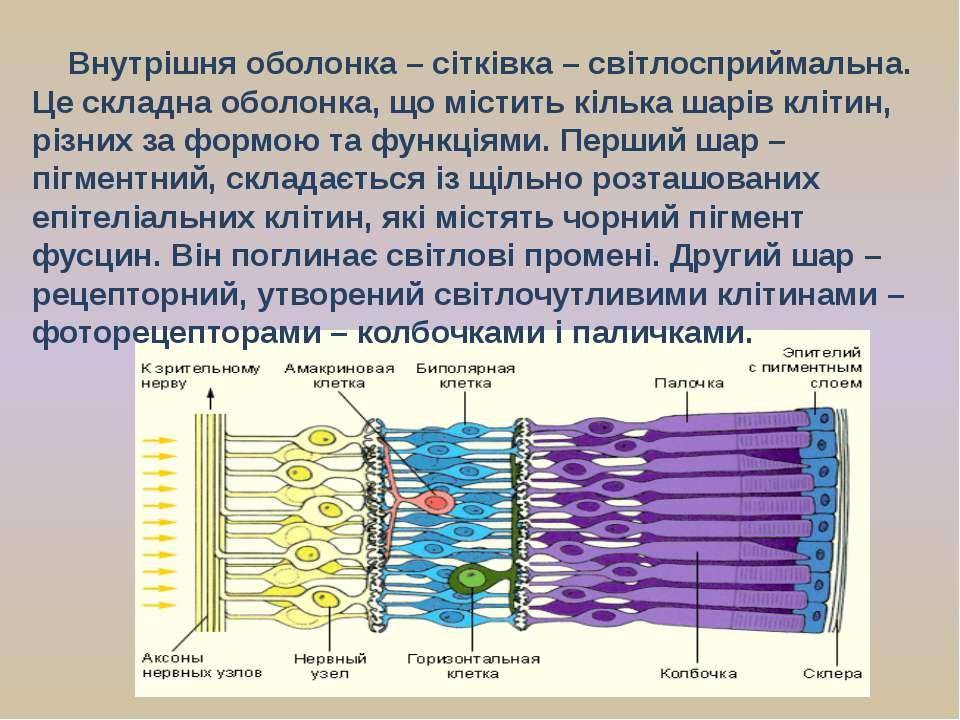 Внутрішня оболонка – сітківка – світлосприймальна. Це складна оболонка, що мі...