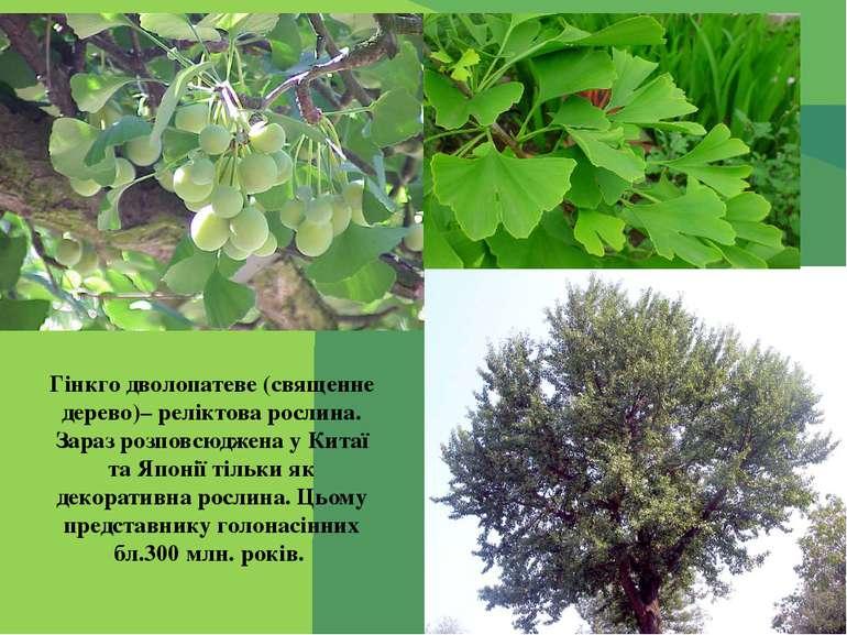 Гінкго дволопатеве (священне дерево)– реліктова рослина. Зараз розповсюджена ...