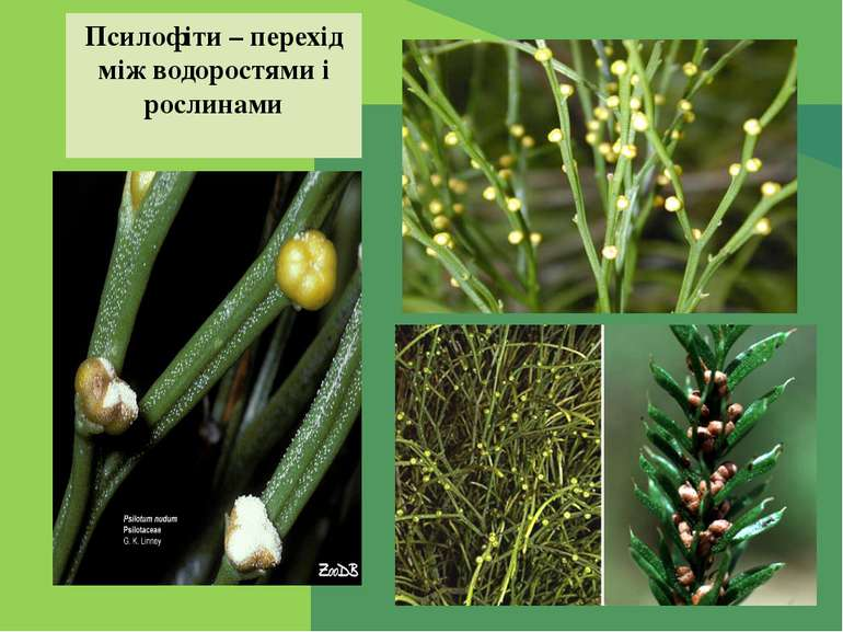 Псилофіти – перехід між водоростями і рослинами