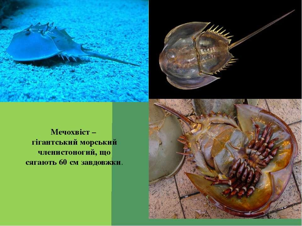 Мечохвіст – гігантський морський членистоногий, що сягають 60 см завдовжки.