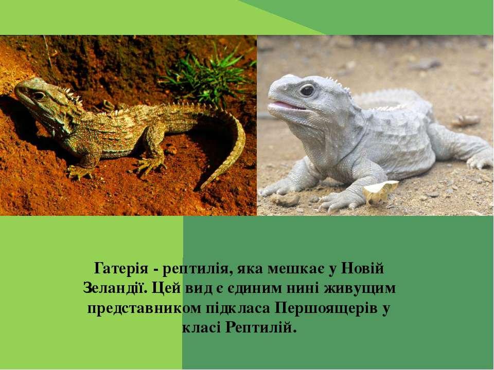 Гатерія - рептилія, яка мешкає у Новій Зеландії. Цей вид є єдиним нині живущи...