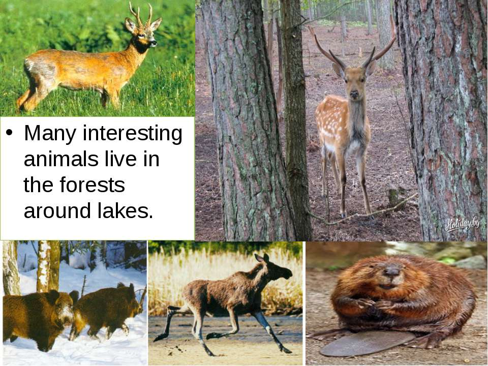 Many interesting animals live in the forests around lakes.