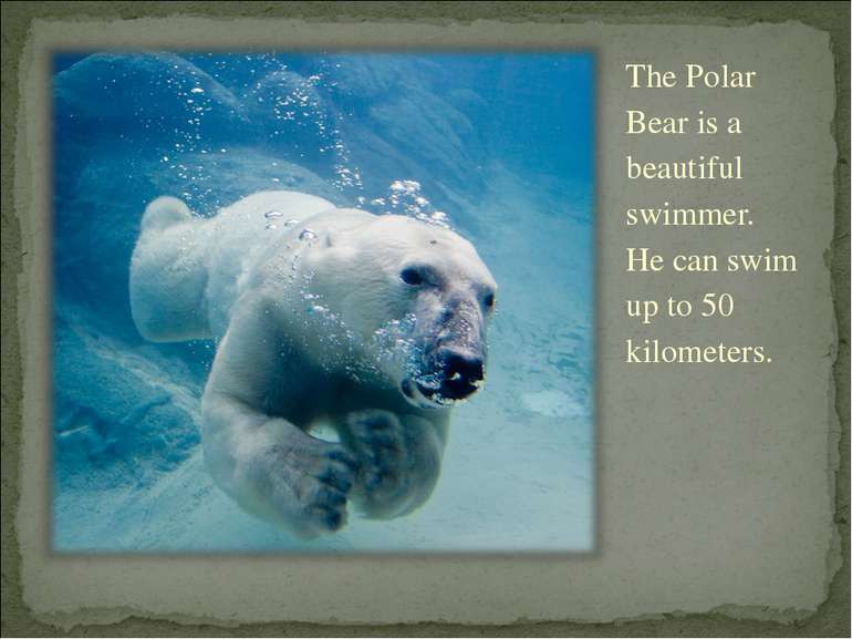 The Polar Bear is a beautiful swimmer. He can swim up to 50 kilometers.