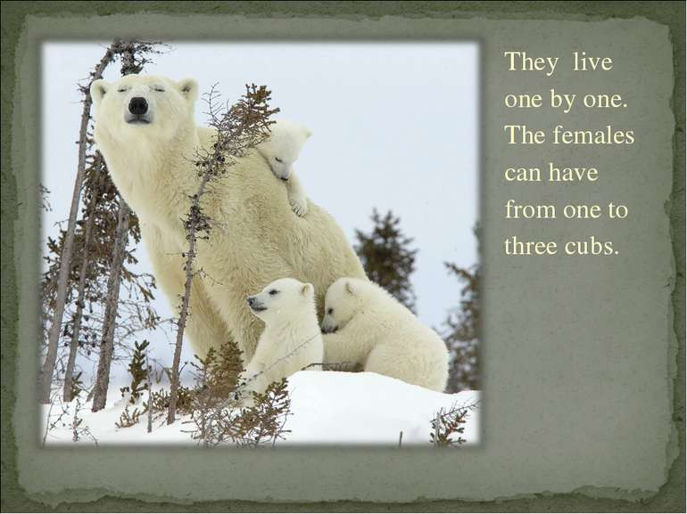 They live one by one. The females can have from one to three cubs.