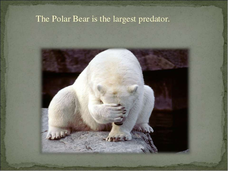 The Polar Bear is the largest predator.
