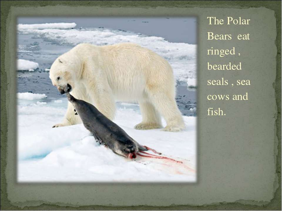 The Polar Bears eat ringed , bearded seals , sea cows and fish.