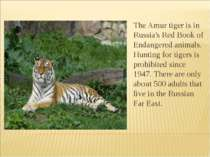 The Amur tiger is in Russia's Red Book of Endangered animals. Hunting for tig...
