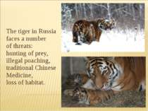 The tiger in Russia faces a number of threats:  hunting of prey, illegal poac...