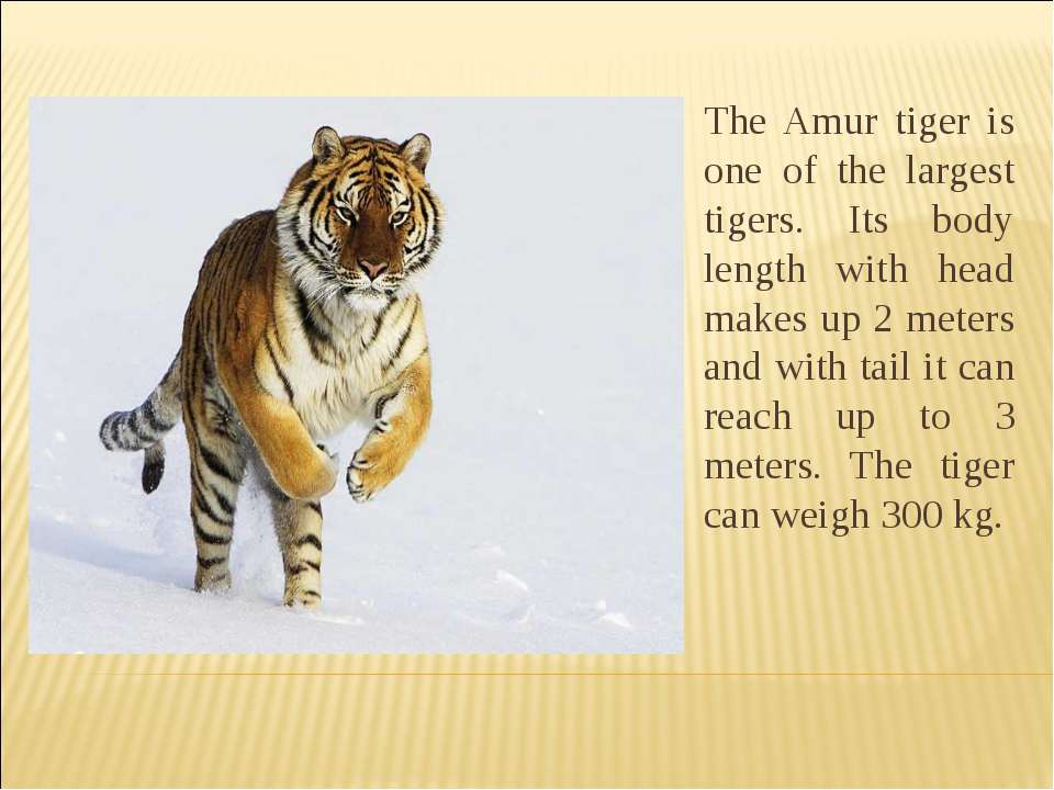 The Amur tiger is one of the largest tigers. Its body length with head makes ...