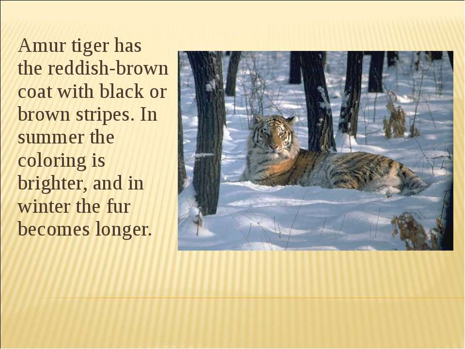 Amur tiger has the reddish-brown coat with black or brown stripes. In summer ...