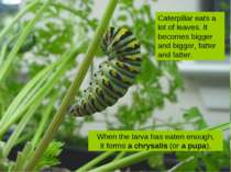 Caterpillar eats a lot of leaves. It becomes bigger and bigger, fatter and fa...