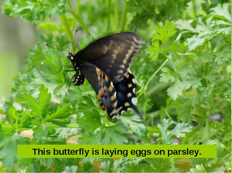 This butterfly is laying eggs on parsley.