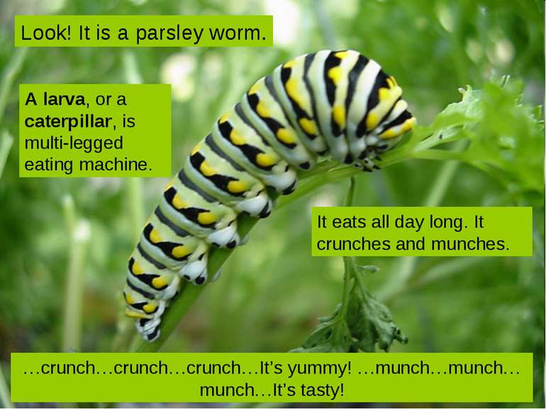 Look! It is a parsley worm. …crunch…crunch…crunch…It's yummy! …munch…munch…mu...