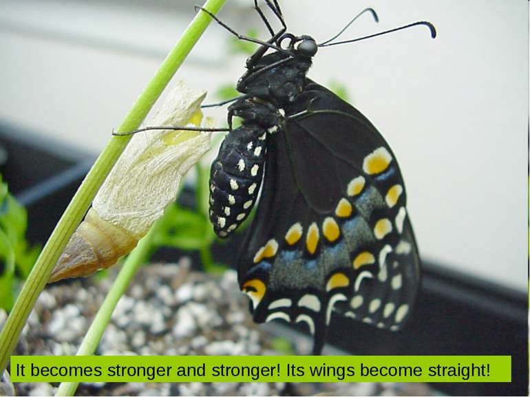 It becomes stronger and stronger! Its wings become straight!