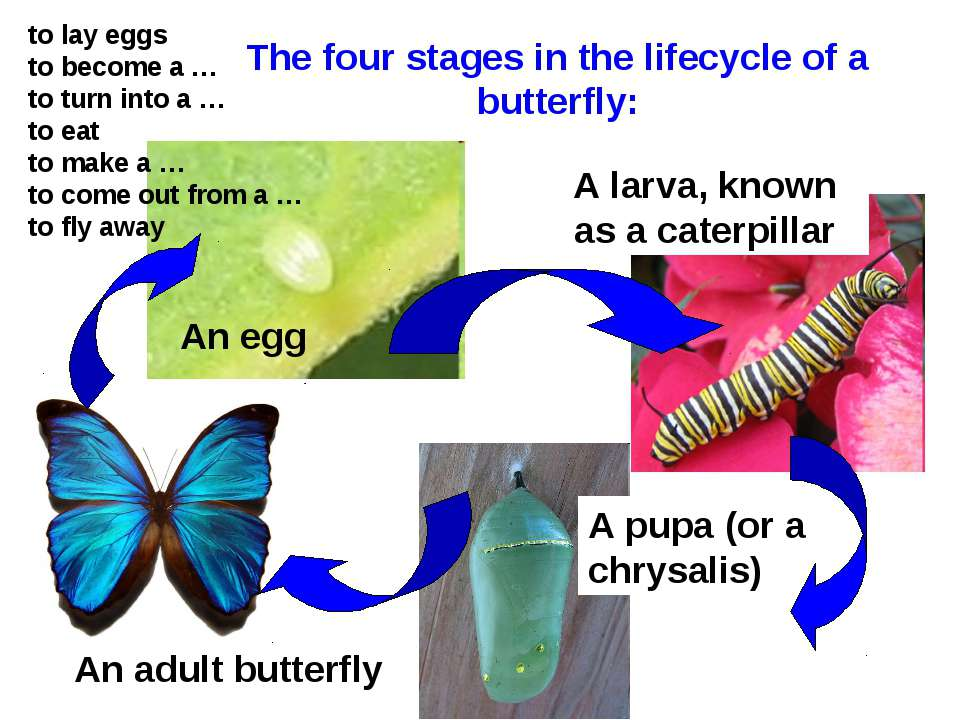 The four stages in the lifecycle of a butterfly: An egg A larva, known as a c...