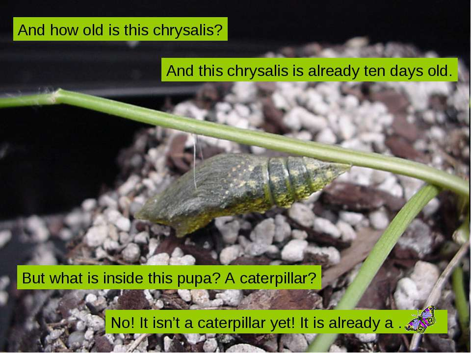 And this chrysalis is already ten days old. But what is inside this pupa? A c...
