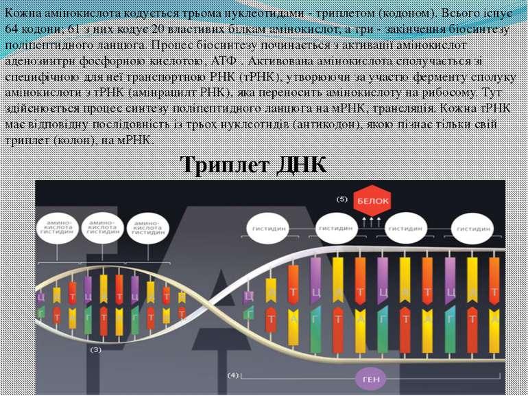 Кожна амінокислота кодується трьома нуклеотидами - триплетом (кодоном). Всьог...
