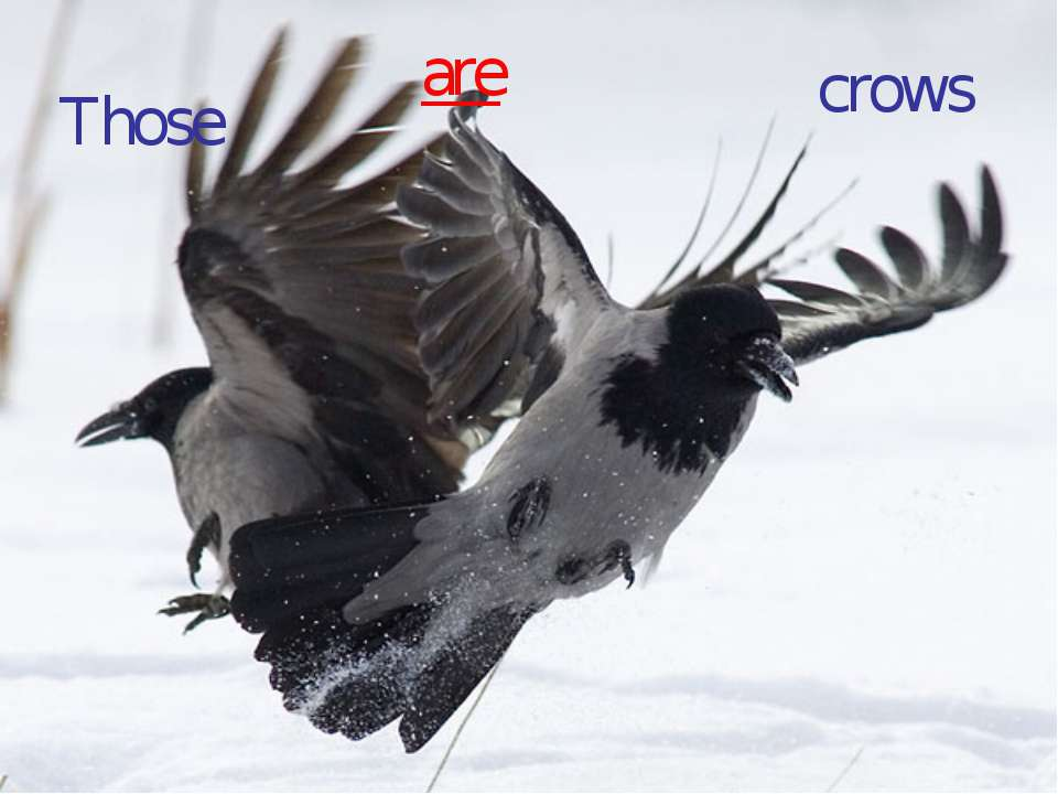 Those are crows