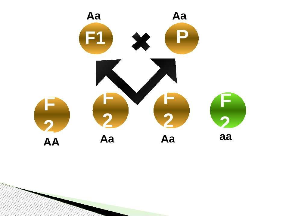 Нащадки F1 та P утворили 8023 насінини, з яких 6022 були жовтого кольору, а 2...