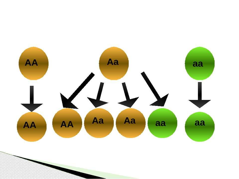 Розщеплення за генотипом розслин F2 гороху посівного в разі самозапилення АА ...